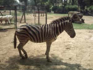 lahore zoo - AlifYAY - plains zebra