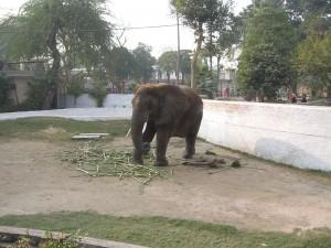 lahore zoo - AlifYAY - suzi-the african elephant