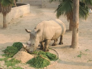 lahore zoo - AlifYAY - whilte rhinoceros
